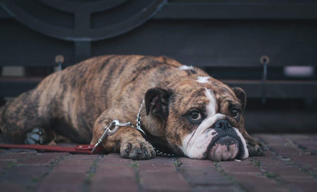 best dog looking sad lying on the ground
