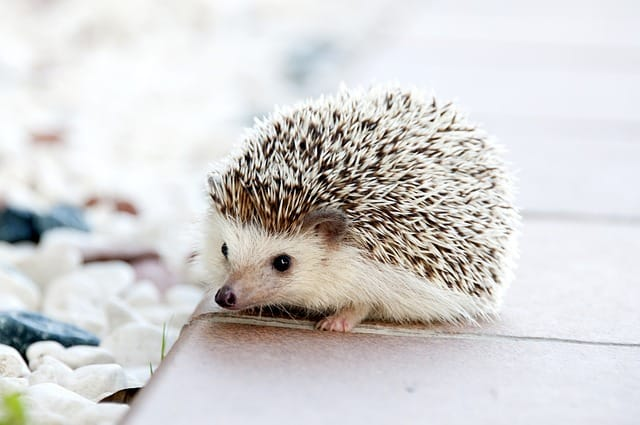Brown hedgehog on a book