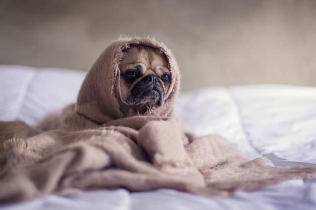 Pug in a blanket on a carpet