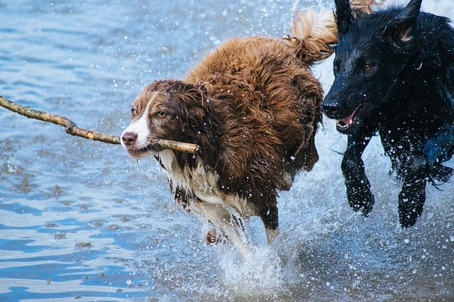 2 dogs playing with a stick in the water