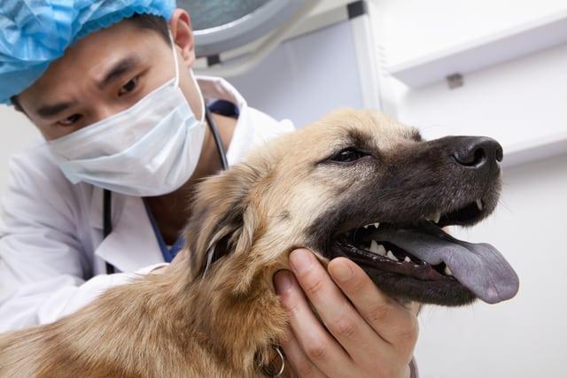 vet inspecting dog's ears