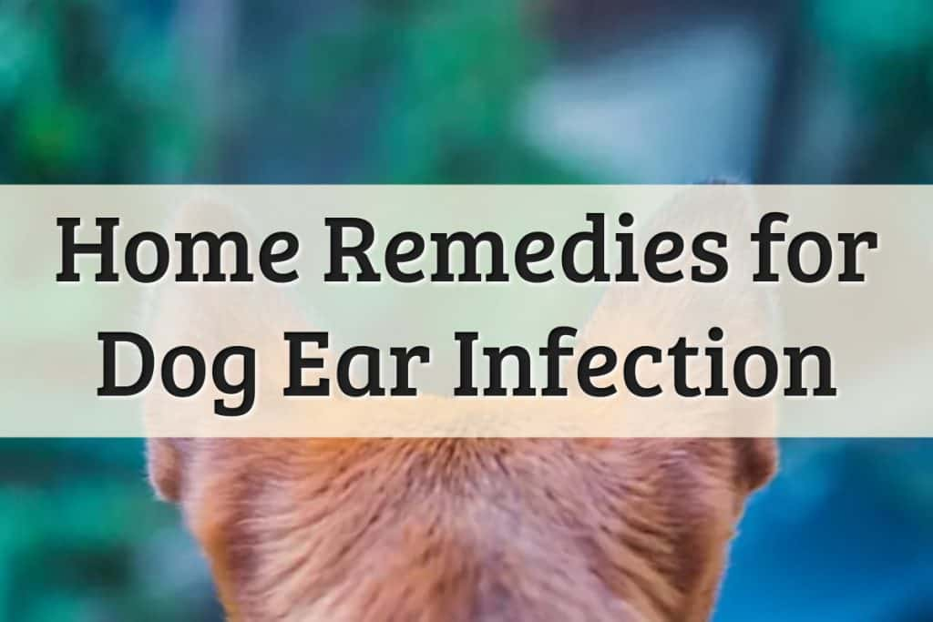 Well Pet - How To Treat Dog Ear Infection At Home Feature Image