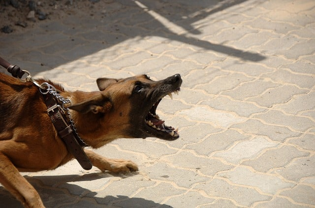 Dog barking agressively