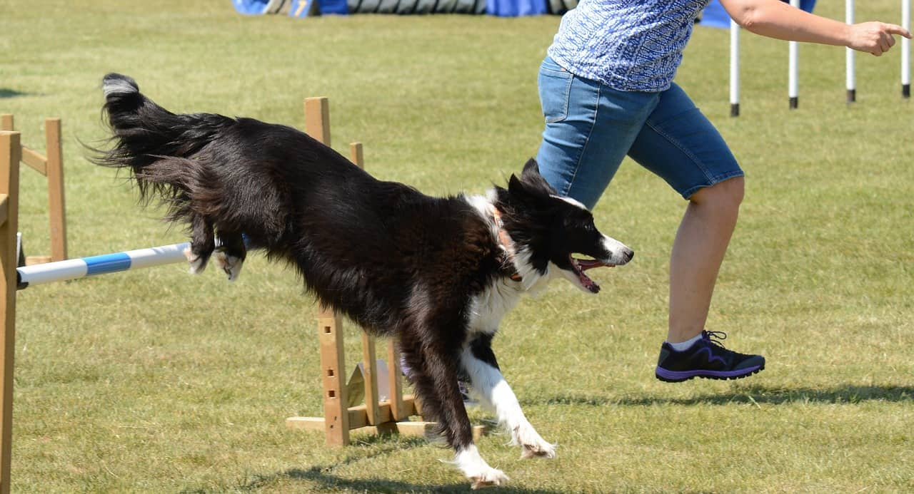 Dog Running With Agility