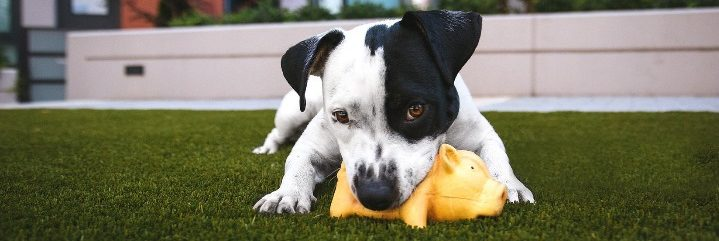 Cute dog biting on pig toy