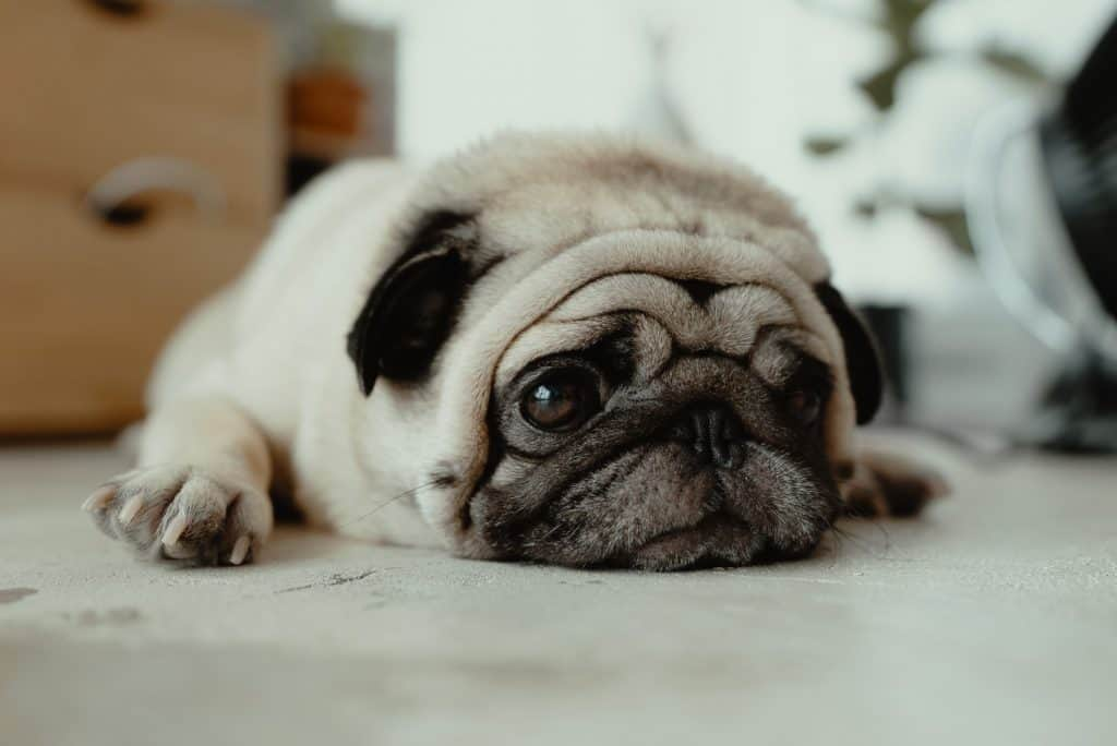 Dog Resting On The Floor While Looking Really Sad
