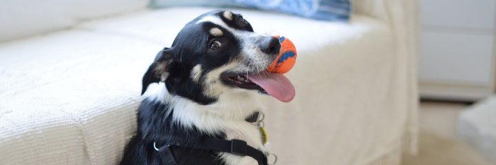 Dog biting orange ball while looking at the camera