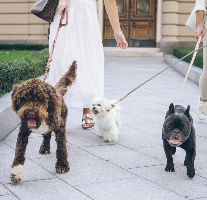 3 Dogs Being Walked By Owners