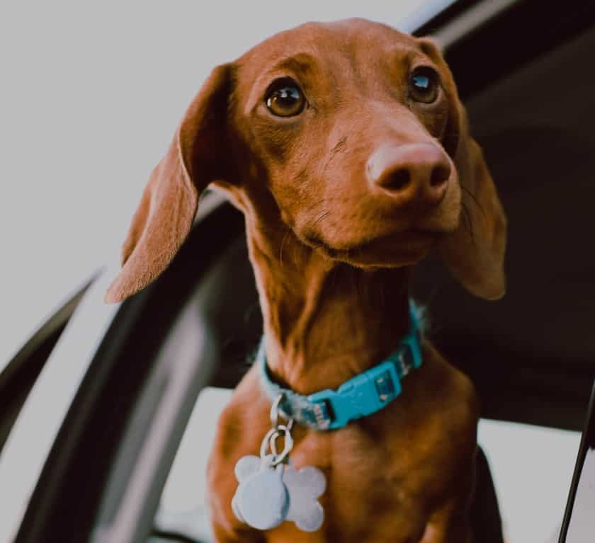 Dog with collar tag