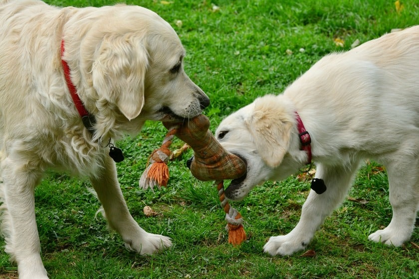 Two golden retrievers biting on soft bone plush and rope