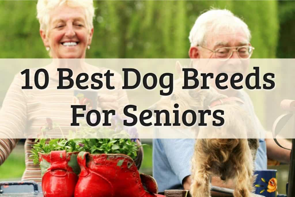 10 Best Dog Breeds for Seniors Feature Image
