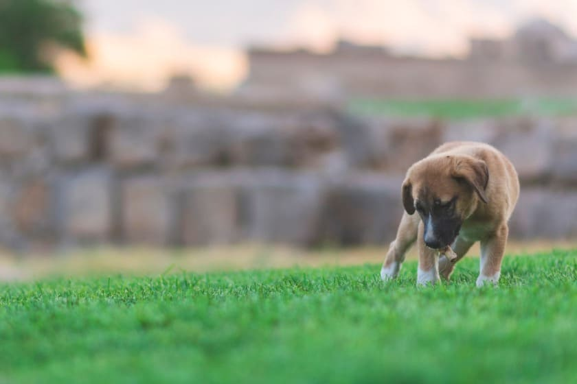 Brown puppy looking at the grass