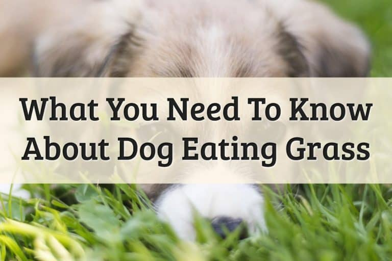Dog Eating Grass Feature Image