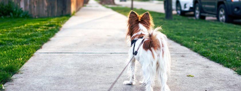 Dog walking ahead of owner