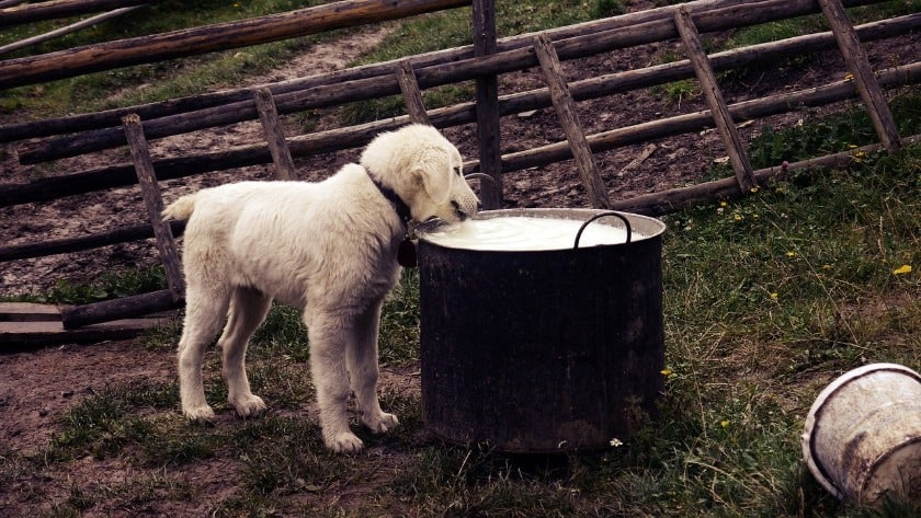 Milk For Dog Constipation Is Not Advisable As It Could Cause Adverse Effects