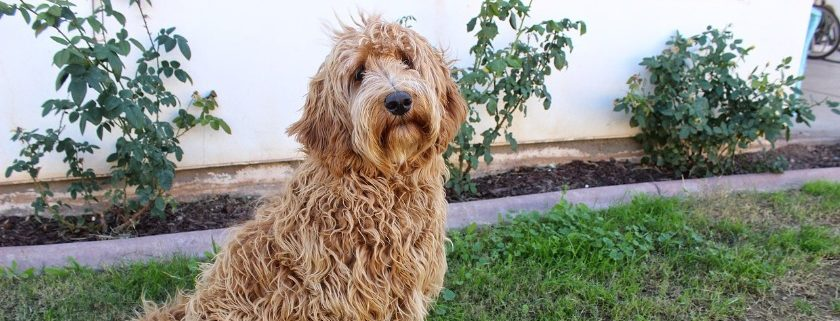Pet Tips For Labradoodle Food To Support Their Health