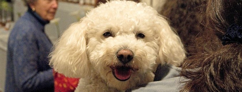 Check out manufacturing brands that have healthy foods for Poodles