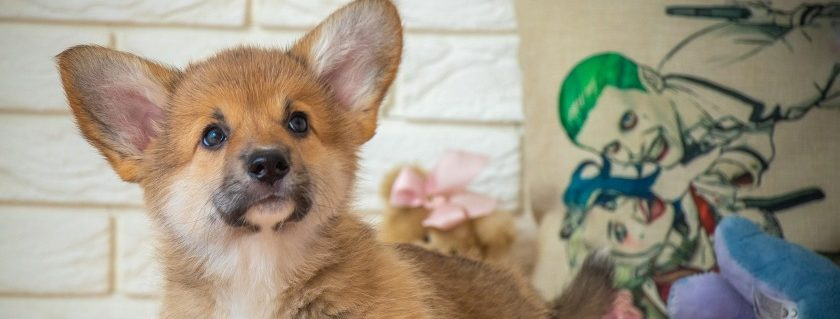 Food is a great way for ensuring your corgi puppies get healthy skin