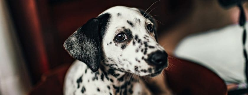 Large Breed Dog - Dalmatian