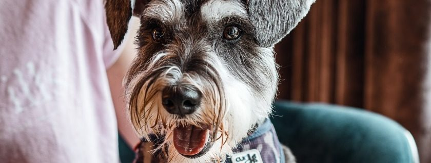 Types of protein ingredients for your schnauzer