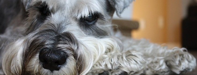 Common problems in schnauzer that you should know