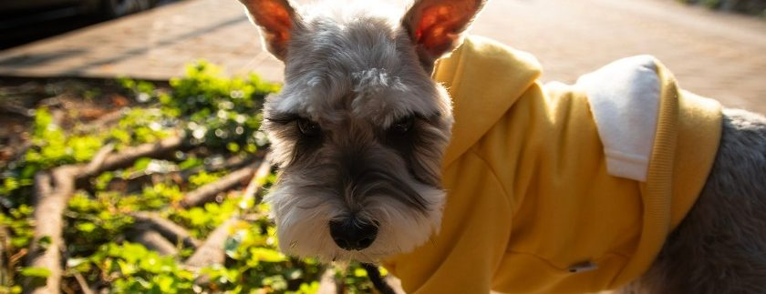 What is a good choice of food for schnauzers