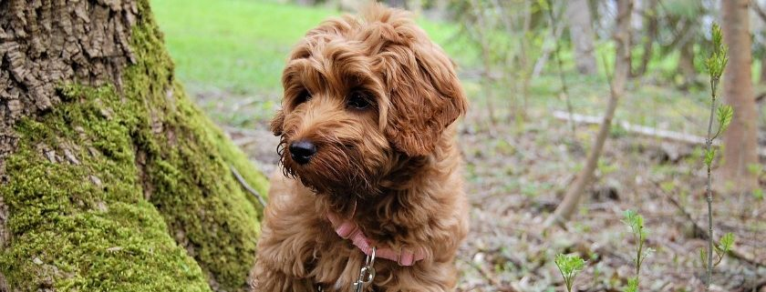 Quality Dog Food For Your Labradoodle Puppy