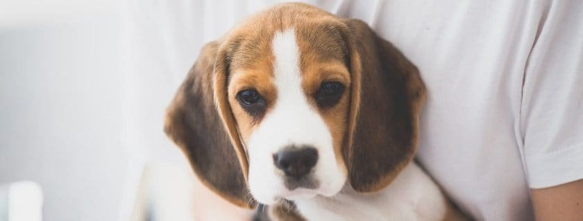 Consider the best sensitive stomach dog food with prescription diets for your little beagle