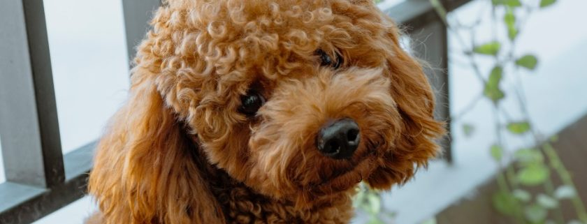 Photo of A Poodle Adult