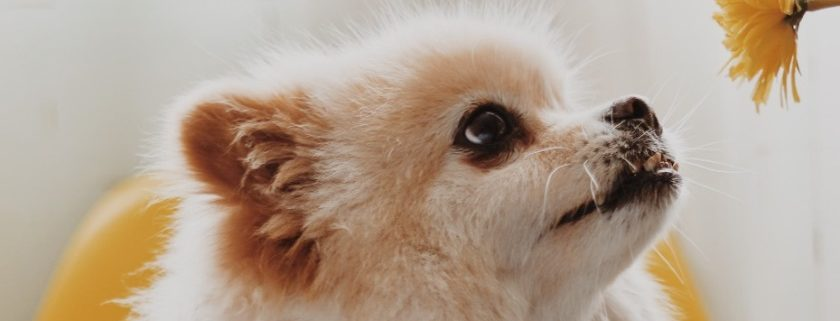 Recipes To Get The Nutrient Catered To Pomeranians