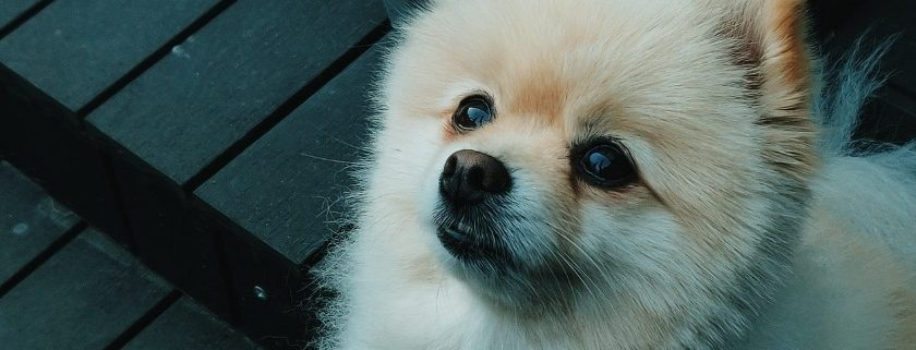 Antioxidant Provides Good Nutrient Pomeranians