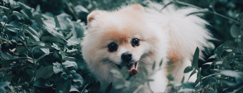 Pet Tips Vitamins and Minerals Are Essential Part Of Pomeranians Nutrition Meals