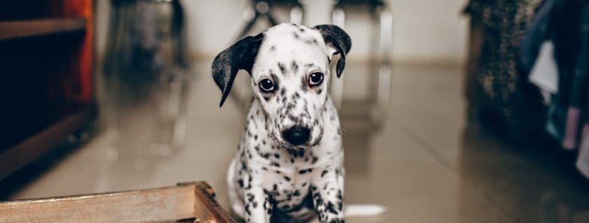 Large Breed Puppy, Dalmatian