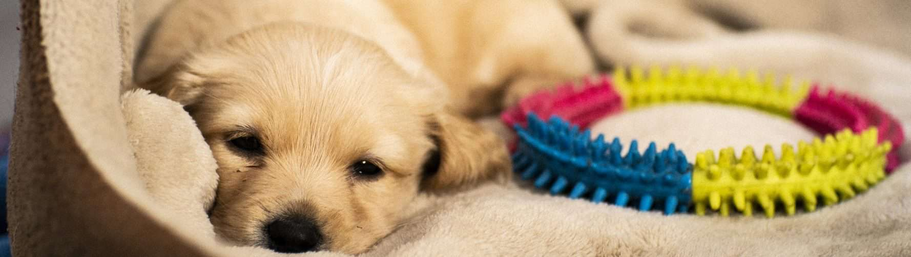 Puppy in bed with a toy beside him