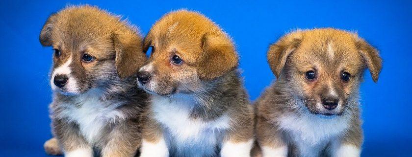 Cute Corgi Breed Puppies
