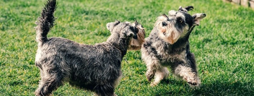 Protein is essential in schnauzer food
