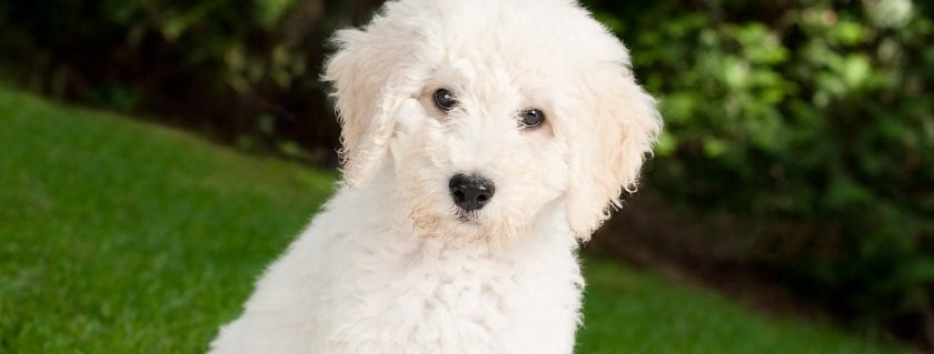 Protein Option Included In Puppy & Adults Labradoodle Food