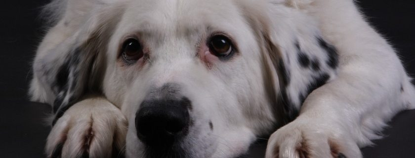 Best dry dog food for great Pyrenees diet that help keep their health problems low