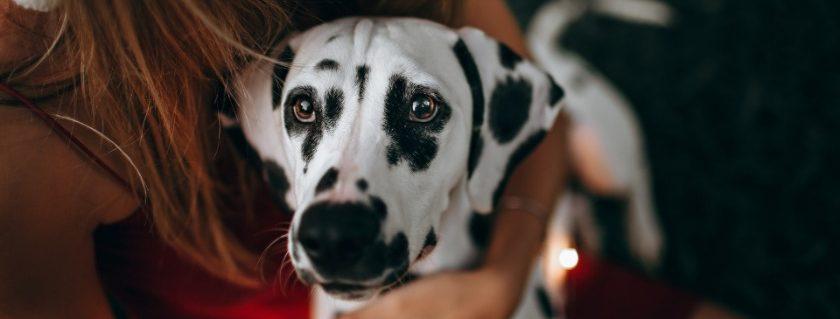 Dalmatian Health Problem