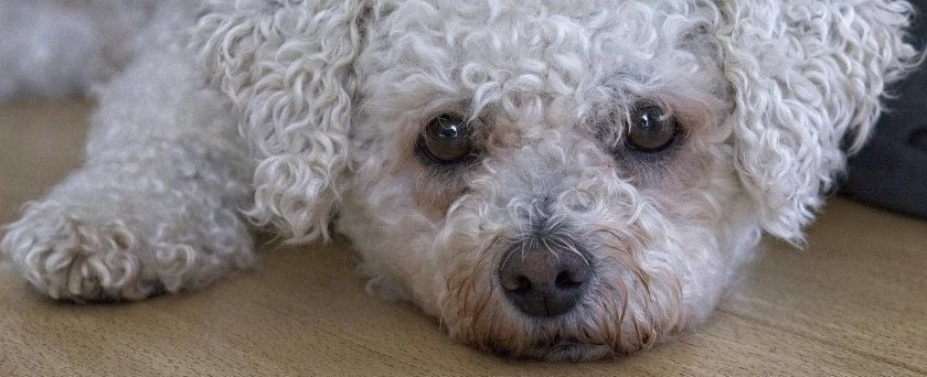Feed Your Bichon Frise With Ingredients To Reduce Fat & Build Muscle Mass For Energy Needs