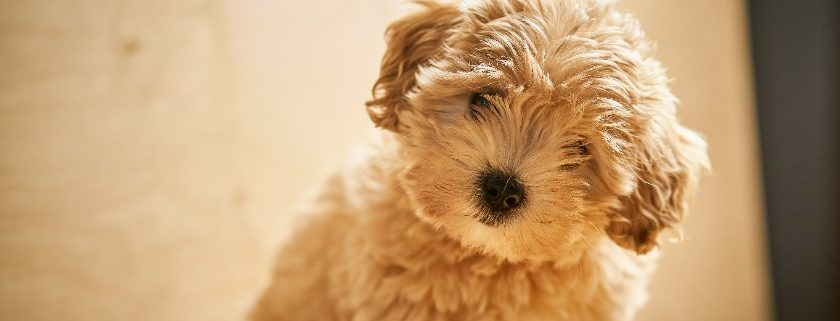 Feeding Puppy Food For Your Maltipoo - Protein Content Nutrients & Diet Requirements