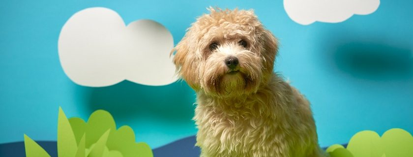 What Is Your Feeding Schedule For Your Adult Maltipoo Breed Dog