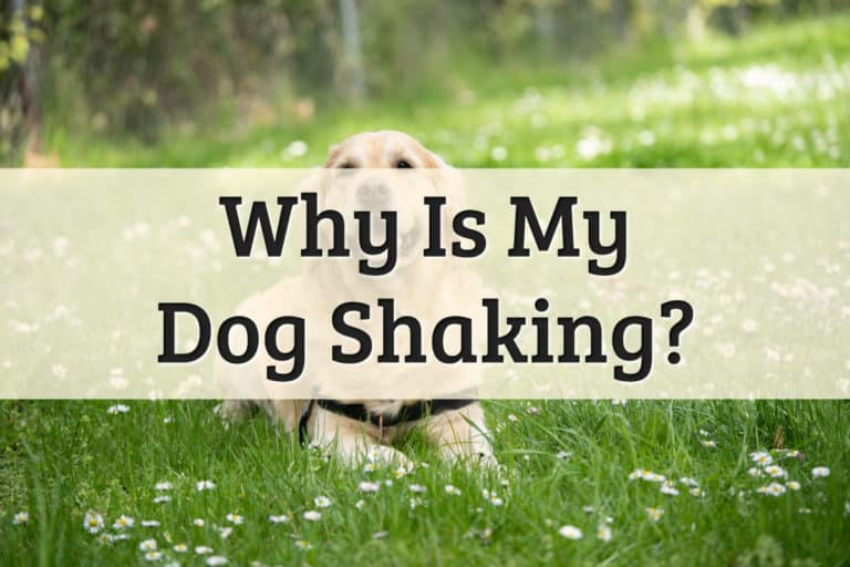 Why Is my dog shaking - feature image