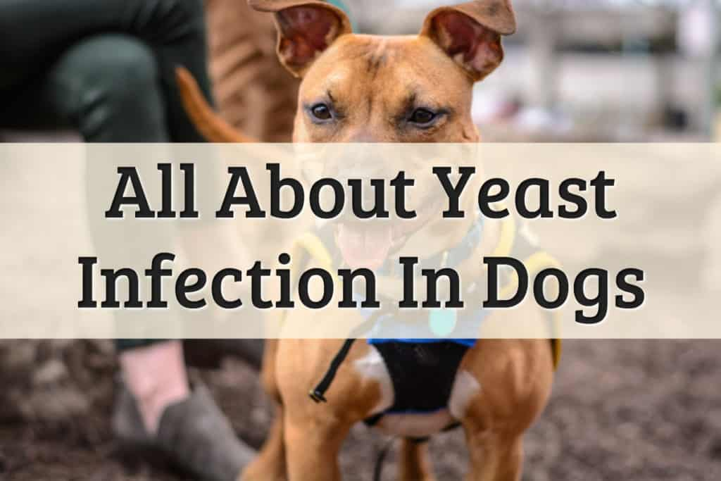 Yeast Infection In Dog - Feature Image