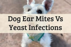 Does your pet have dog infections ear feature image