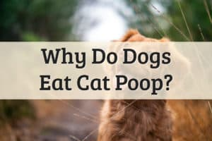 Why Do Dogs Eat Cats Poop - Feature Image