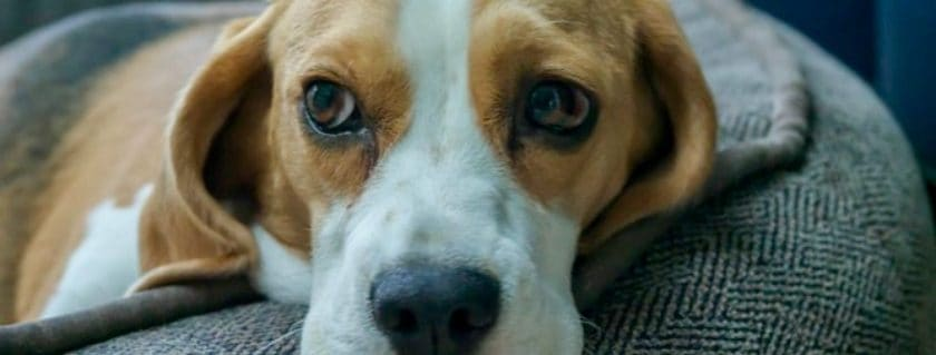 Health Issues surrounding Your basset hound breed puppy, adult dogs