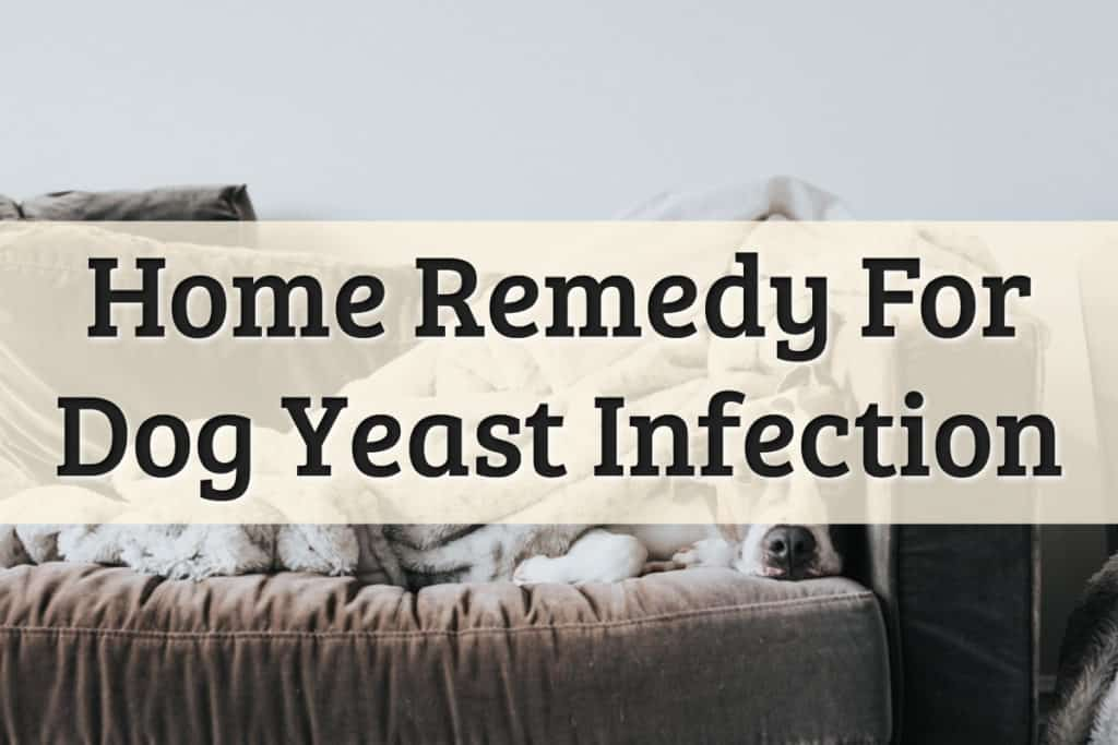 Yeast Infection Dogs Feature Image
