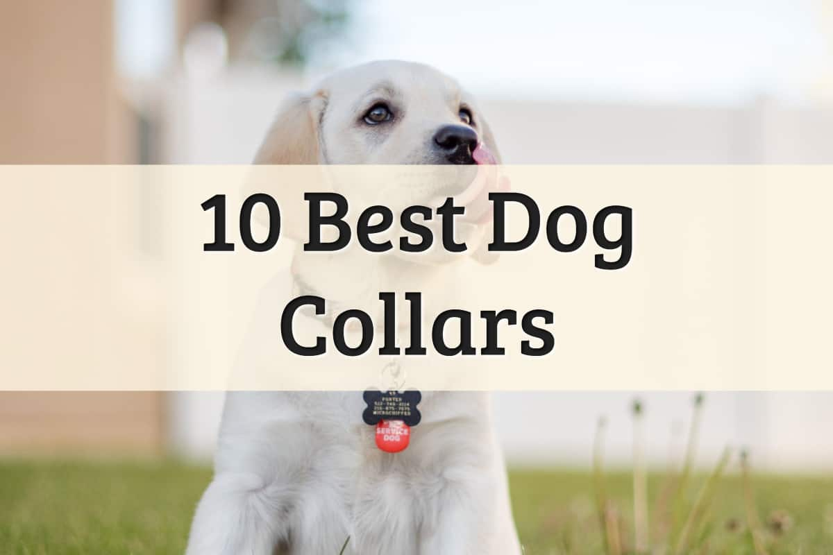 Best Dog Collars Feature Image