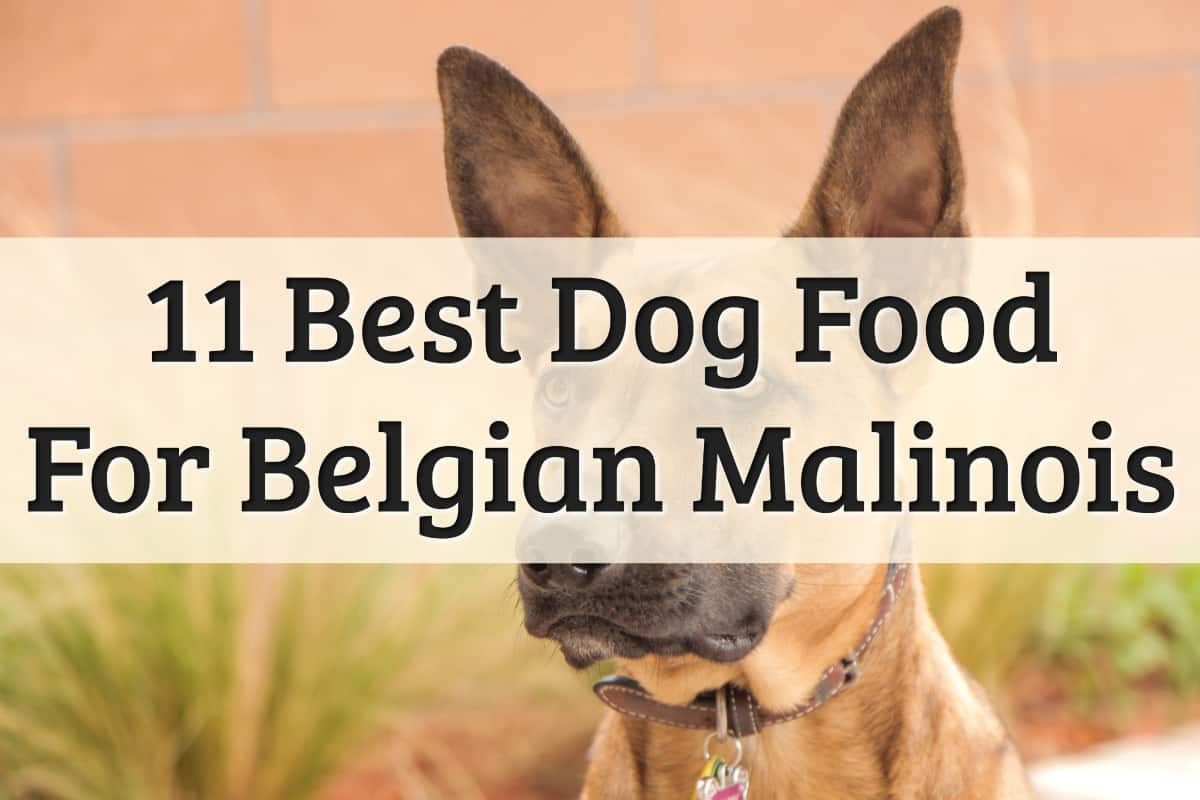 Belgian Malinois Feeding Guide - Feature Image